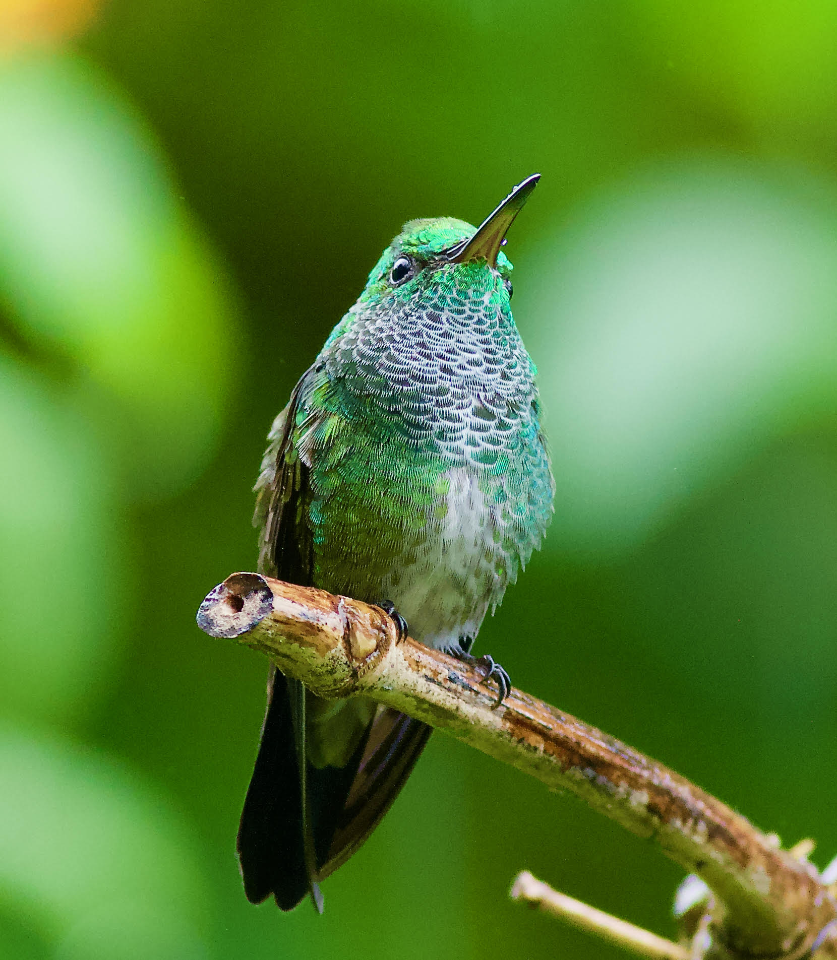 New Hummingbird Species Discovered in Trinidad