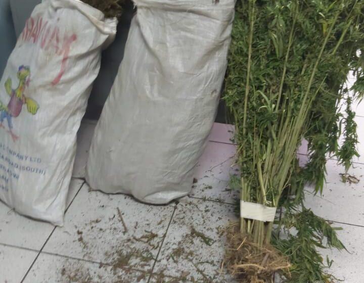 $13.5M in Marijuana Trees Destroyed in Biche
