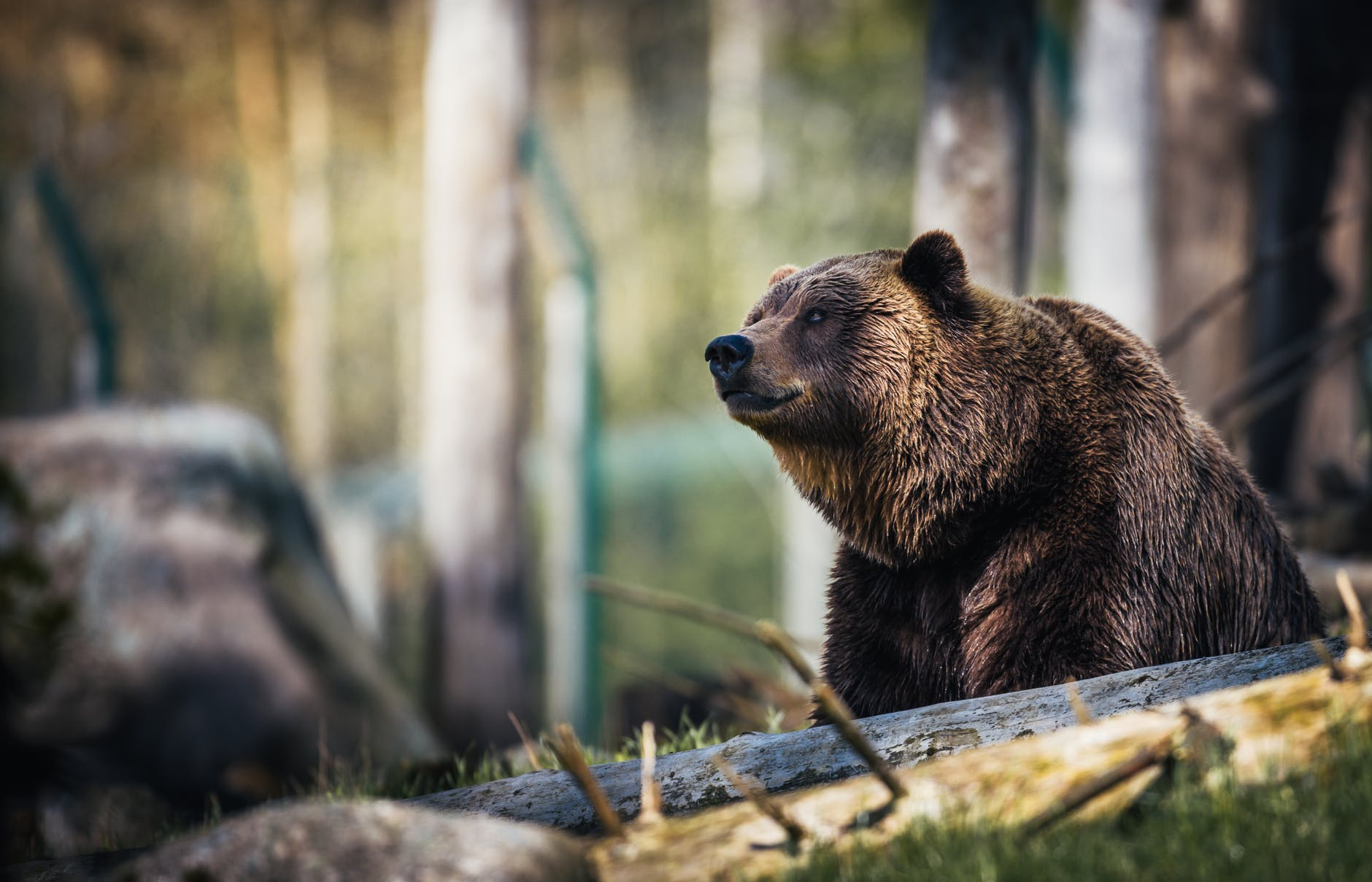 Black Bear Enters House, Smashes Wall to Get Out