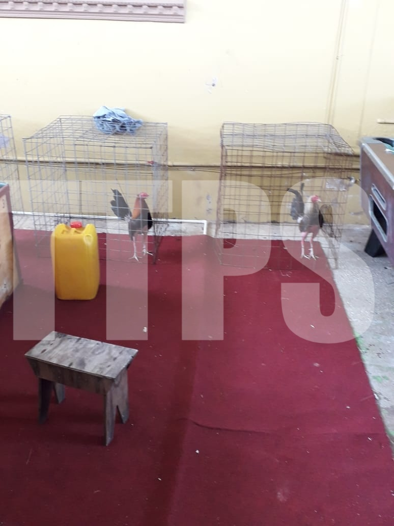 Cockfighting: 8 Held as Police Seize Gamecocks, Gayelle