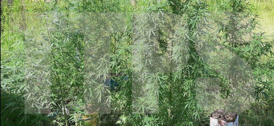 2 Months' Hard Labour for 49 Marijuana Trees