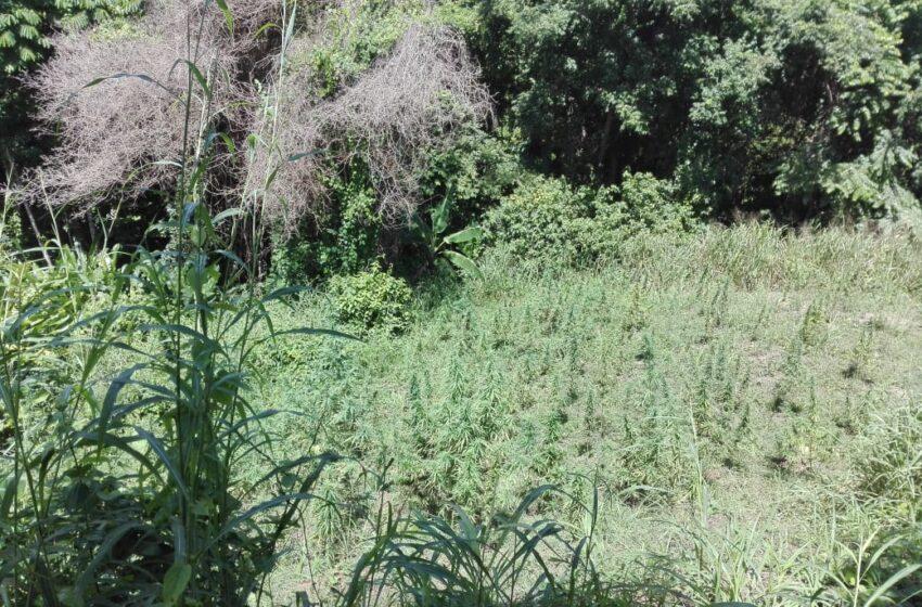 Almost $13Million in Marijuana Trees Destroyed in Moruga