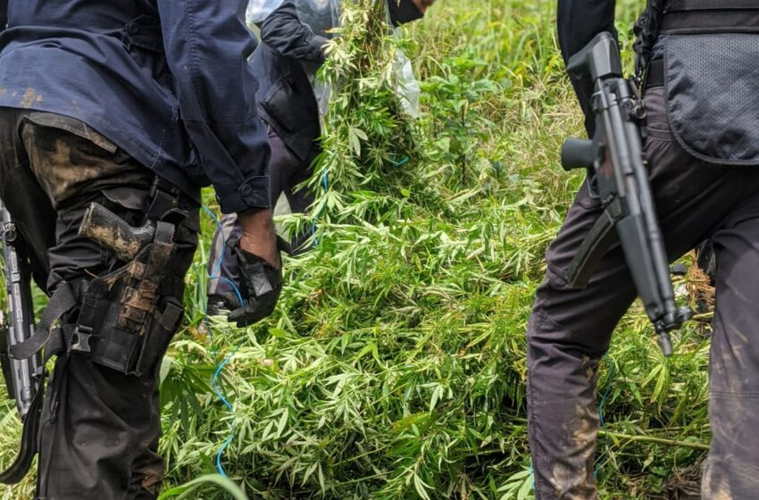 Marijuana Trees Worth $5M Destroyed