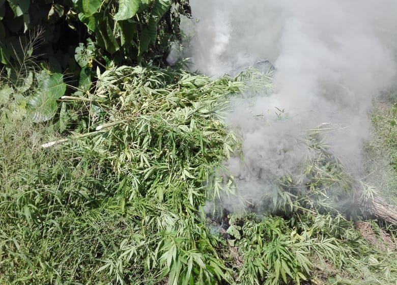 Police Destroy $16M in Marijuana in Moruga