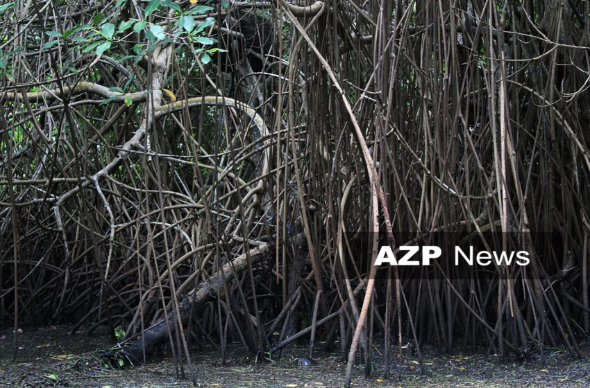 FFOS: Little Protection for T&T Mangroves