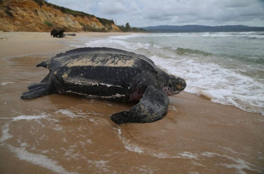 FFOS to Deyalsingh: Allow Beach Patrols to Protect Turtles